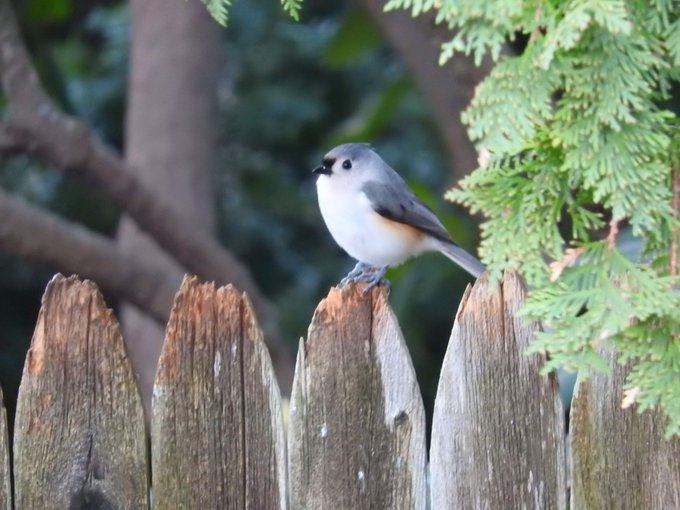Original photograph of the Tufted Titmouse by Ioannis Moutsatsos